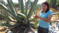 Showing me how to work with the maguey plant