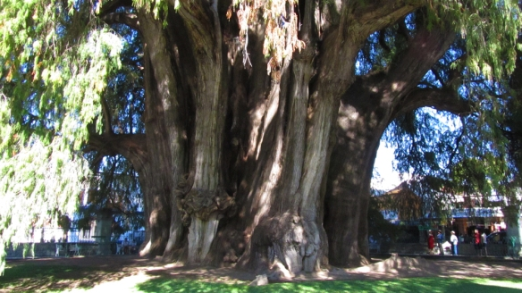 Tule - the stoutest tree in the world!