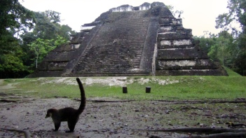 A rakoon in front of pyramid