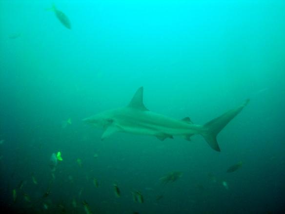 Galapagos shark!