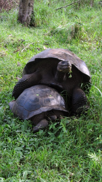 Some land tortoise are having happy time... they reproduce for 3 hours!