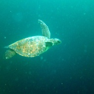 Sea turtle.. they are so peaceful! Love them.