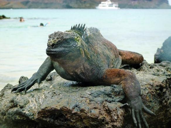 An iguana :)