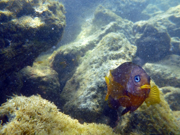 Snorkeling at playa alemanes. The fishes usually run away but this one liked the camera. :)