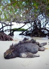 Lazy iguanas... haha