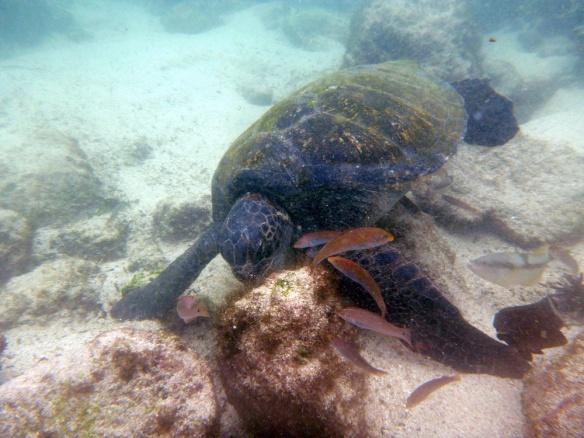 Snorkeling with a sea turtle :)