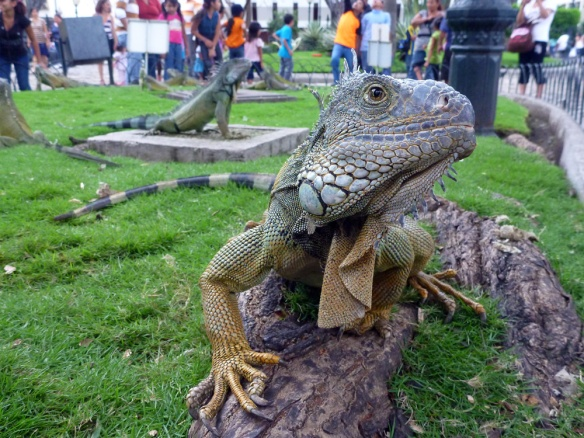 Visiting the park of the Iguanas here in Guayaquil. They are green land iguanas, different from the ones in the Galapagos.