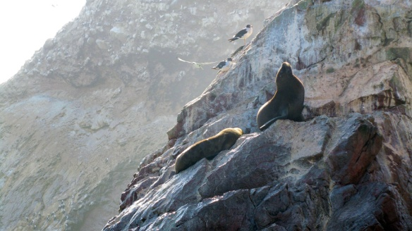 Sea lions in isla ballestas :)