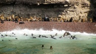 Swimming sea lions in isla ballestas :) lots of mothers and babies too.