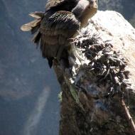 A condor sitting