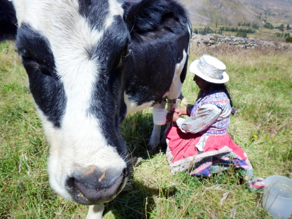 Josefina milking the cow
