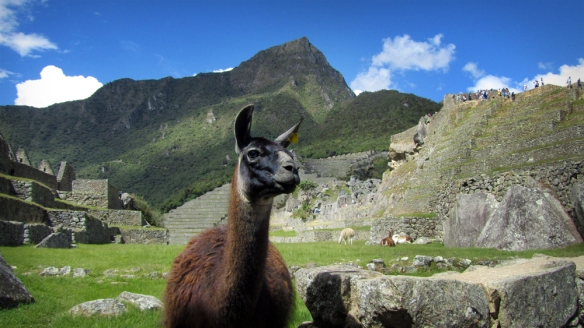 Sweet lama at Machu Picchu