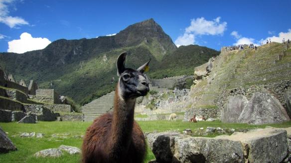 Sweet lama at Machu Picchu