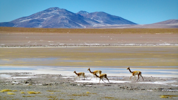 Some vicuñas running