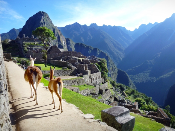 Lamas going for a walk in Machu Picchu.