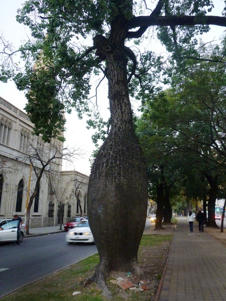 "These trees are everywhere!  They are called ""borrachos"" which mean ""drunks"" because they look like a bottle.. hehe."