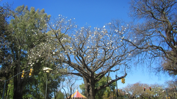 "Apparently the very common ""drunken trees"" (borrachos) here blooms with those white balls - feels like christmas!"