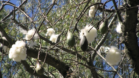 The avocado-simular fruits there blooms to those cotton-like puffs. So wierd!