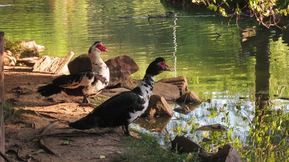 So big ducks here. And look a little bit like roosters too.