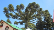 Nice brazilian pine tree. Very special and have very good nuts!