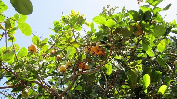 The cashew-tree!