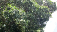 Mango-tree!!