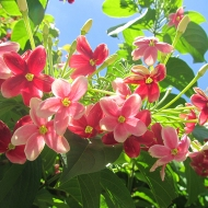 """This flower is called something like """"the brazilian lover"""" - because it changes color 7 times in a day. Haha"""