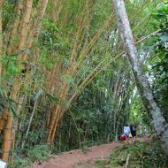 Bambu trees