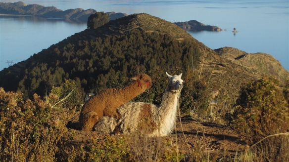 Beautiful llamas...
