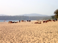 So many cows on the beach!