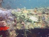 Scorpionfish, very well disguised!
