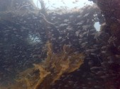 "More tiny fishes inside shipwrecks! ""Olympia Maru"""