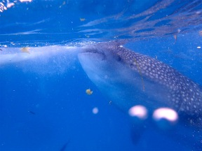 Whale shark eating