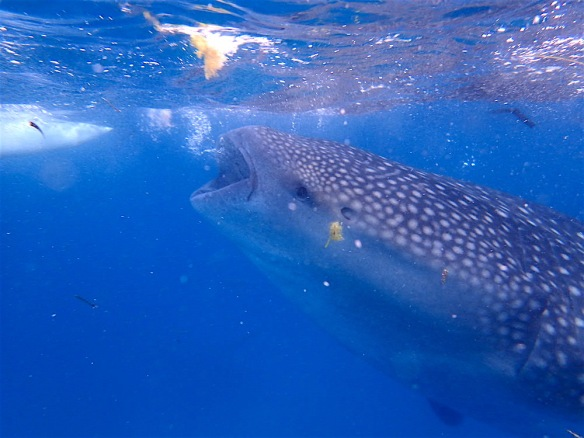 So cute! Whale shark eating