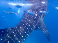 Whale sharks and small fishes