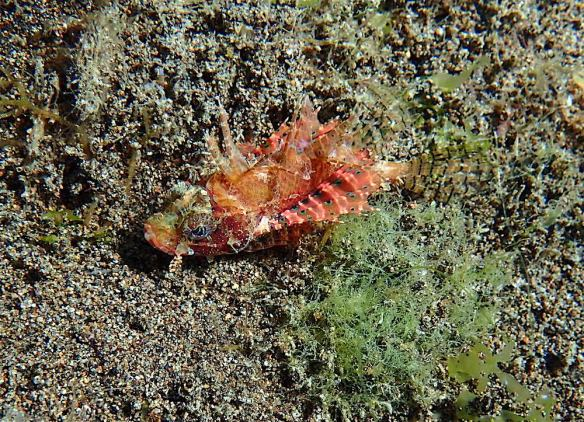Redish and angry scorpionfish