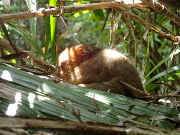 Sleeping tarsier!
