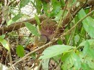 Philippinean tarsier :)