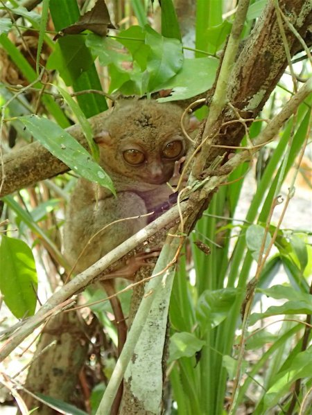 A cute tarsier who opened his eyes!