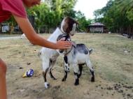 Cute goats :)