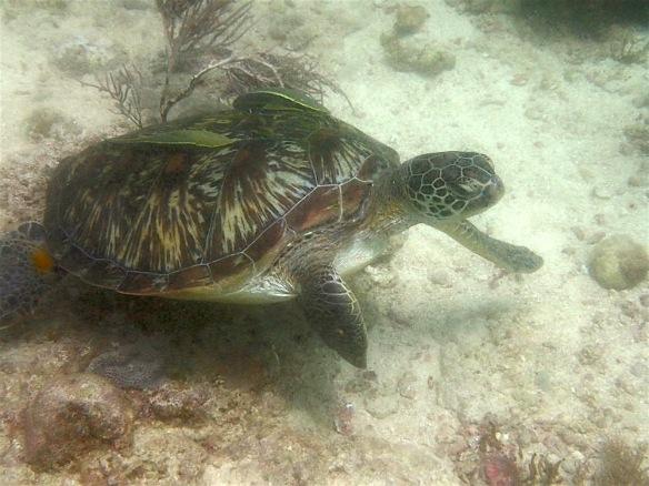 Turtle! :)